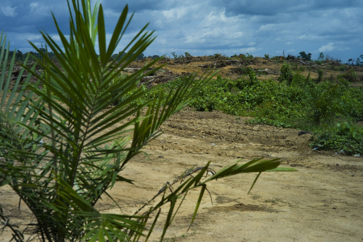 Part of an oil palm plantation in Sinoe County, Liberia, that has been recently cleared and is being replanted. In the distance is a forested area; nearby workers told Oxfam they intended to clear this forest soon. Photo by Anna Fawcus/Oxfam America.
