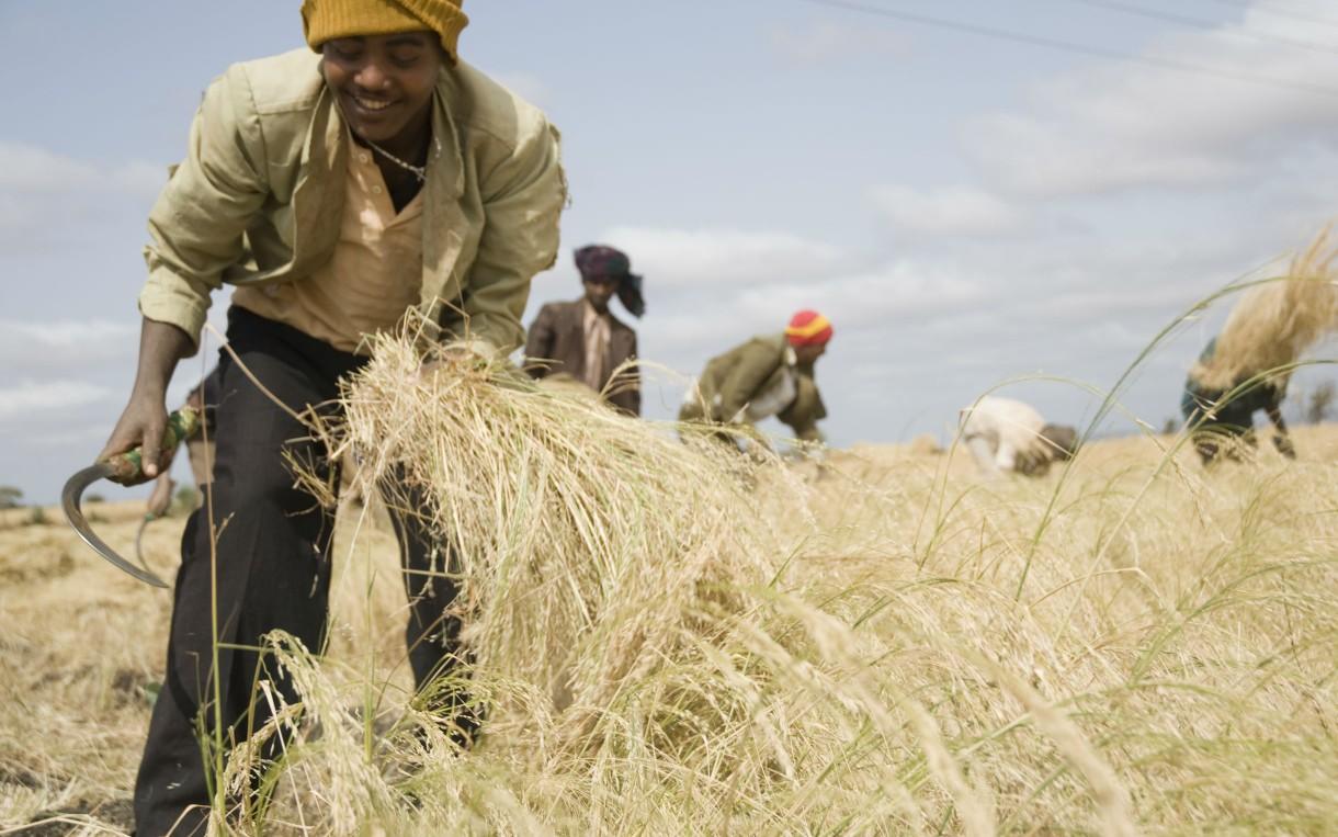 Farmers harvest teff by hand near Negele, Ethiopia. Photo: Eva-Lotta Jansson/Oxfam America